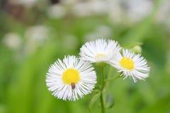 White and Yellow Wildflower royalty free stock photo