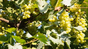 White yellow wine vineyard Royalty Free Stock Photography