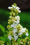White, yellowish and greenish lilac flowers on a branch. With green leaves on a spring sunny day stock photography