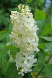 White, yellowish and greenish lilac flowers on a branch. With green leaves on a spring sunny day stock images