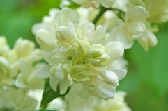 White, yellowish and greenish lilac flowers on a branch. With green leaves on a spring sunny day stock photos