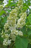 White, yellowish and greenish lilac flowers on a branch. With green leaves on a spring sunny day stock photo