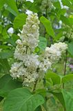 White, yellowish and greenish lilac flowers on a branch. With green leaves on a spring sunny day stock image