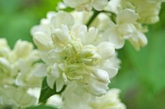 White, yellowish and greenish lilac flowers on a branch. With green leaves on a spring sunny day royalty free stock photo