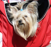White Yorkshire terrier in a bag Stock Photography