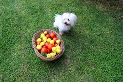 Cute maltese dog sitting next to a basket full of fresh fruits and vegetables in the garden. White youn maltese puppy sitting on the lawn net to a basket full of Stock Photos