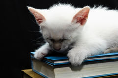 White Young Baby Cat Royalty Free Stock Photo
