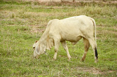 White young bull in the field. White young bull in the new green grass field Stock Photography