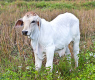 White young cow Stock Images