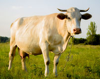 White young cow in countryside. Dairy young cow at countryside, meadow in the background Royalty Free Stock Photos