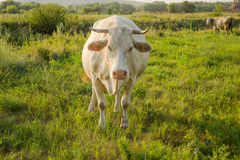 White young cow in countryside. White cow at countryside looking into camera, meadow in the background Stock Photos