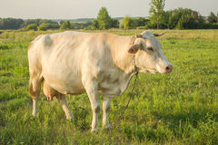 White young cow in countryside. White cow at countryside, meadow in the background, sideways Stock Photo