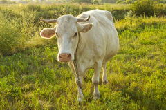 White young cow in countryside. White cow at countryside, meadow in the background, top view Stock Images
