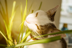 White young domestic hungry cat eating grass with sun light flar Royalty Free Stock Images