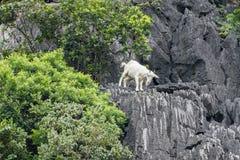White goat climbing on limestone mountain Stock Images