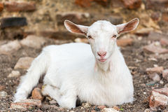 White Young Goat Royalty Free Stock Image