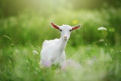 White young goat in the grass. Bokeh royalty free stock photos