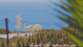 White Young Goat On Two Hoofs. Wild Young Goats In A Play Fight Testing Their Powers On A Hill Overlooking The Blue Sea In Greece royalty free stock photos