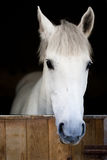 White young horse head. In the stable staring. Black background Royalty Free Stock Photography