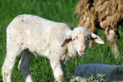 Lamb in Pasture royalty free stock photo