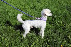 White Young Miniature Poodle Outdoors on a Green Grass royalty free stock photo