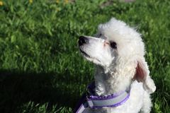 White Young Miniature Poodle Outdoors on a Green Grass stock photos