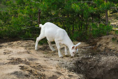 White young nanny goat searching food Royalty Free Stock Photography