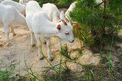 White young nanny goat searching food Royalty Free Stock Image