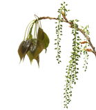 White young poplar populus alba tree leaves and seeds isolated on a white background Stock Photos