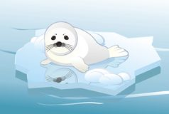 White young seal. On ice floe Royalty Free Stock Photo