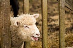 White Young Sheep Lamb Royalty Free Stock Image