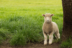 White Young Sheep Lamb Royalty Free Stock Photo
