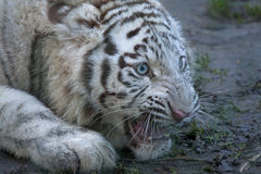 White young tiger growls. Stock Photography