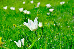 White, young tulip blossom among green grass Royalty Free Stock Image