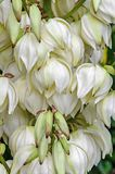 White Yucca filamentosa bush flowers,  other names include Adams needle Royalty Free Stock Photo