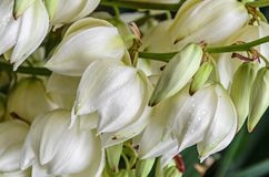White Yucca filamentosa bush flowers,  other names include Adams needle Stock Photo