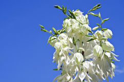 White yucca flower. On a blue sky background Royalty Free Stock Image