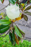 White yulan flower and leaf Royalty Free Stock Photo