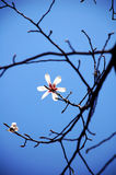 White Yulan Flowers in spring. White Yulan flowers in the spring,the flowers on the blue sky background Stock Photography