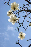 White yulan magnolia Stock Images