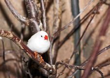 White Zebra Finch Royalty Free Stock Images