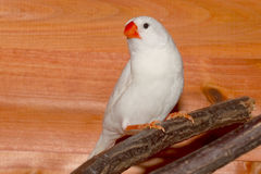 White Zebra Finch Stock Images