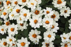 white zinia Royalty Free Stock Photo