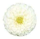 White zinnia Royalty Free Stock Image