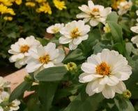 White Zinnia flower Royalty Free Stock Photo