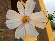 White Zinnia. Large white daisy-like flower with yellow center Royalty Free Stock Image