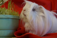 Whiteandblack guinea pig. White guinea pig love you Stock Photo