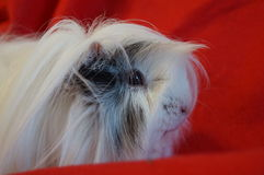 Whiteandblack guinea pig. White guinea pig love you Stock Images