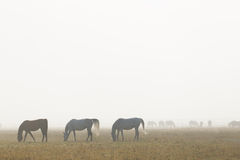 WhiteArabian horses in the morning fog Royalty Free Stock Image
