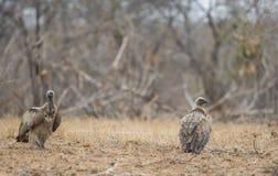 Whitebacked sępy na ziemi Fotografia Royalty Free